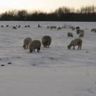 Gra..., nein, schneeende Schafe im Elsterflutbett