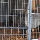 Tapir Cotopashi im Leipziger Zoo (Interimsquartier)