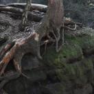 Wurzelwerk: Wurzeln suchen sich auch auf dünnem Boden ihren Weg