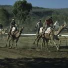 schnelle Vierbeiner beim-Camel-Cup am Ende der Welt