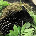 Das Tapir-Leben kann so schön sein: Mitten im Futter sich hinlegen und wenn der kleine Hunger kommt - einfach Mund auf!