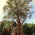 Der Dschungel hat sich die alte Stadt Angkor (Kambodcha) zurückerobert.