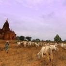 Die Kühe im birmanesischen Bagan werden zu ihrer neuen Weide gelotst.