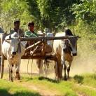 Traditioneller Transport im Süden von Mandalay (Myanmar).