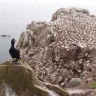 Brutfelsen auf Saltee Island