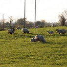 Schafe - natürlich!