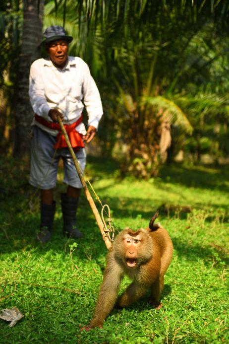 Dieser Affe pflückt die Kokosnüsse von den Palmen