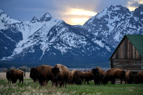 Bisons im Grand Teton Nationalpark
