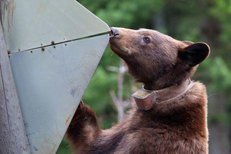 Schwarzbären scheinen Straßenschilder zu mögen