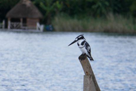Vogel am Lake Bunyoni
