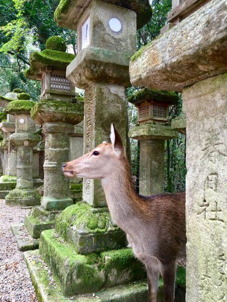 Die Stadt Nara ist dafür bekannt, dass ca. 1200 Rehe dort frei herumlaufen