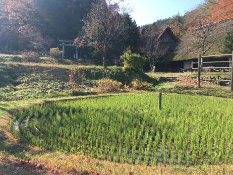 Traditioneller Reisanbau im historischen Dorf bei Takayama