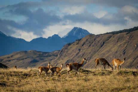 Eine kleine Herde Guanacos, häufige Tiere in der patagonischen Pampa