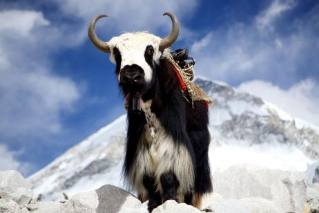 Eindrücke Nepal: Ein Yak